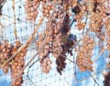 Ice Wine And Grape Harvesting