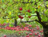 How To Grow An Apple Orchard?