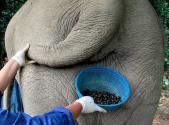 How About Some Coffee From The Elephant Gut?