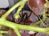 'black Widow' Comes For A Stroll At Whole Foods