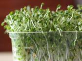 Broccoli Sprouts Healthier Than Broccoli Itself