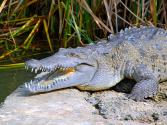 Jamaican Crocs Eaten To Extinction