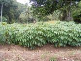 Growing Cassava