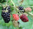 Health Benefits Of Blackberry