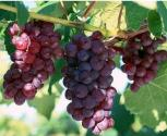 What Are The Skin Benefits Of Grapeseed Oil