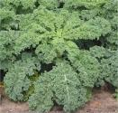 Growing Kale-tips And Techniques