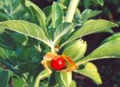 Discover The Health Benefits Of Ashwagandha - Wonder Herb
