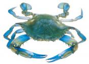 How To Measure Blue Claw Crabs