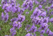 Is It Safe To Eat Lavender During Pregnancy?