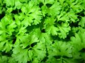 Is It Safe To Eat Parsley During Pregnancy?