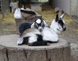 Celebrate All Things Goat At The 4th Annual Goat Festival