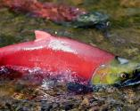 Alaska's Tough Choice: Salmon Or Gold