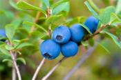 Blueberry Juice Health Benefits