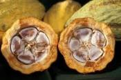Cocoa Genome Study To Pave Way For Tasty Chocolate