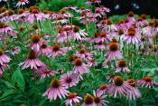 Health Benefits Of Echinacea