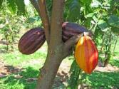 Rare Cacao Beans Discovered In Peru