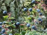 What Are The Health Benefits Of Maqui Berry
