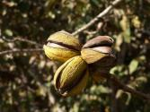 Pecan Allergy-causes, Symptoms, And Cure