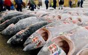 Most Expensive Tuna In The World