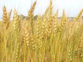 What Are The Industrial Uses Of Malted Cereals