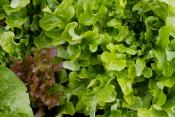 How To Revive Wilted Lettuce