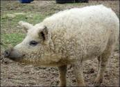Want Tastier Bacon? Then Search For Mangalitsa!