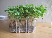 Top 5 Microgreens That Can Be Picked With Tweezers