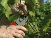 How To Prune Grape Vines - The Easy Way To Grapes