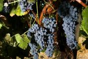 Benefits Of Grape Enzyme