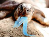 Green Turtles Survive On Plastic