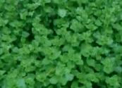 Oregano Herb