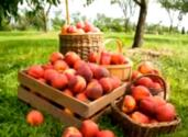 An Overview Of Peach Harvest