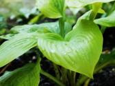 All About Hosta Plants