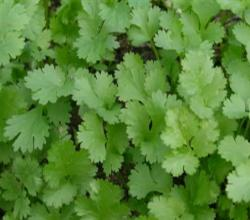 Grow Cilantro or Coriander Leaves