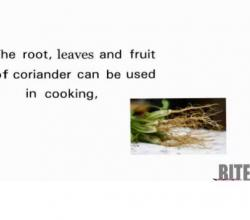Uses for Coriander Root