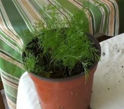 Grow Dill - Suva or Savaa or Soa Bhaji - Gardening Made Easy!
