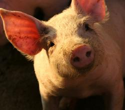 """In pig farming, the only thing you can't use is the squeal"""