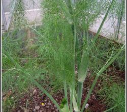 How To Use Fennel - From Root To Tip
