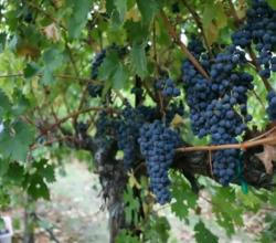 Grapevine Pruning: Winter in Wine Country