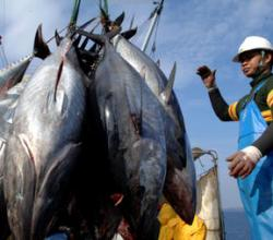 Tuna Brings Radioactive Contamination To US