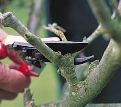 How To Prune Fruit Trees?