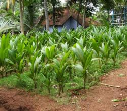 How To Plant Coconut?