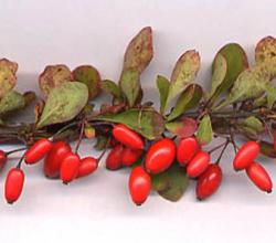 Barberry Leaf Benefits