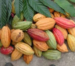 How To Buy Cocoa Seeds?