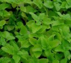 Lemon Balm Leaf Benefits