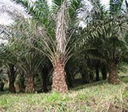 What Are The Benefits Of Palm Kernel Oil