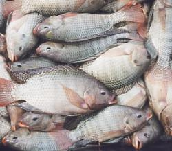 How To Clean A Tilapia Fish