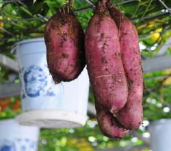 Growing Yam