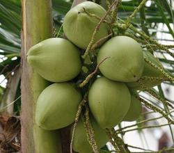 Young Coconut Water Health Benefits