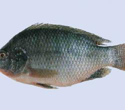 How To Defrost Tilapia